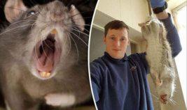 Крысы, Англия, Великобритания,