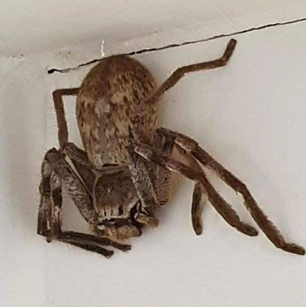 Кэти Кокс, Австралия, паук, охотник,