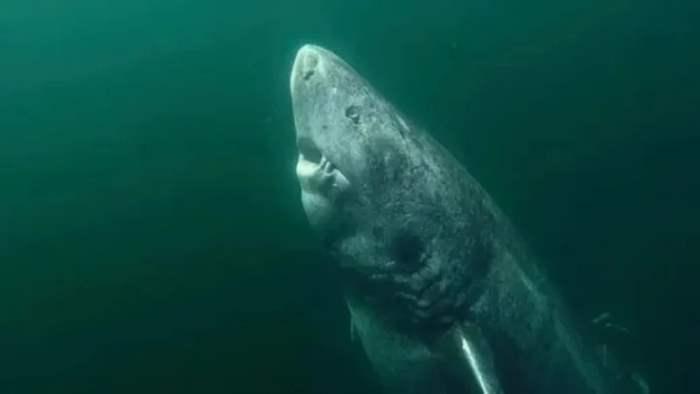 акула, старая акула,