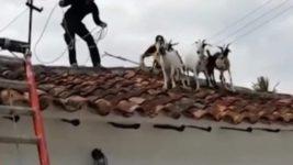 крыша, стадо коз,