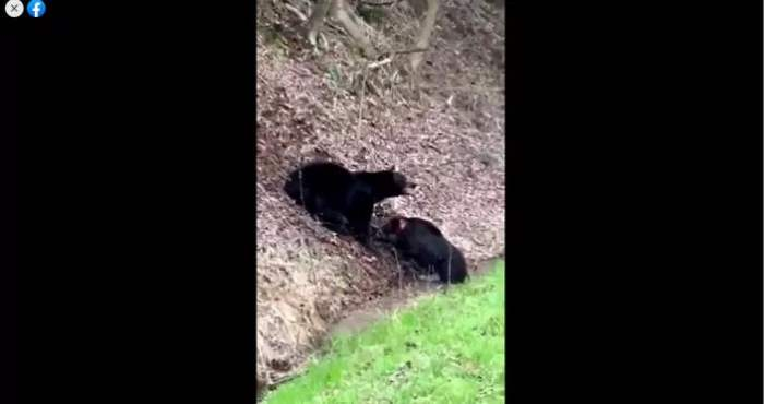 медведь, кабан, битва,