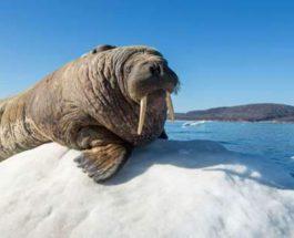 морж, ледник, Ирландия,