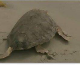 черепахи, болезнь, Флорида,