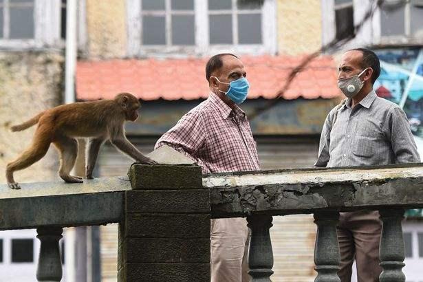 Индия, обезьяны,