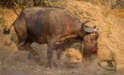 Лев и буйвол сошлись в ожесточенной битве (ФОТО)