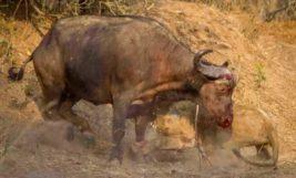 Лев, буйвол,