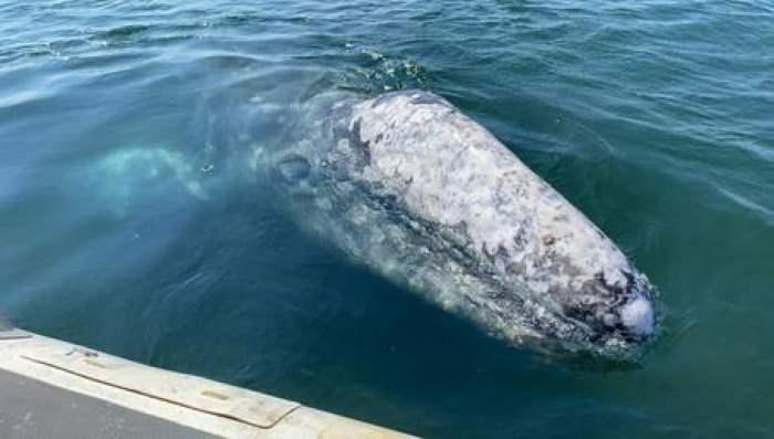Серый кит, Италия,