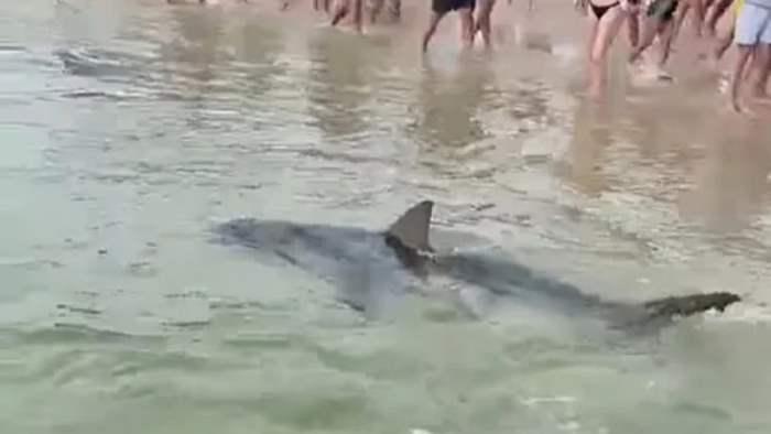 акула, Австралия,
