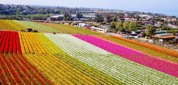 калифорния цветочные поля