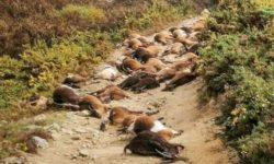 В Португалии от удара молнии погибло 68 коз