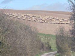 Тайна овец: почему они образовали круг и стояли молча?