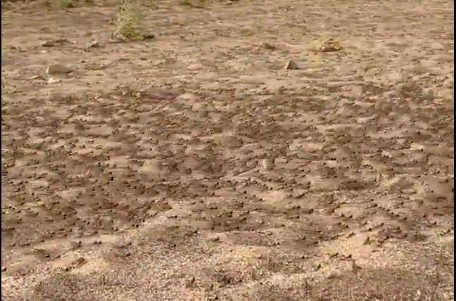 саранча, Саудовская Аравия, ходячая саранча,