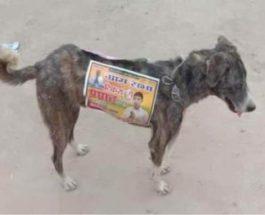 собаки, Индия, выборы, бродячие собаки,