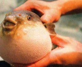 фугу, Турция, рыба,