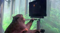 Шок: обезьяна с чипом Маска играет на компьютере силой мысли