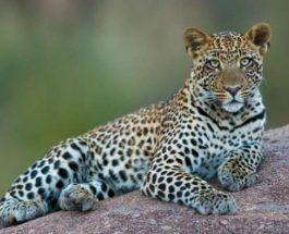Китай, леопард, зоопарк,