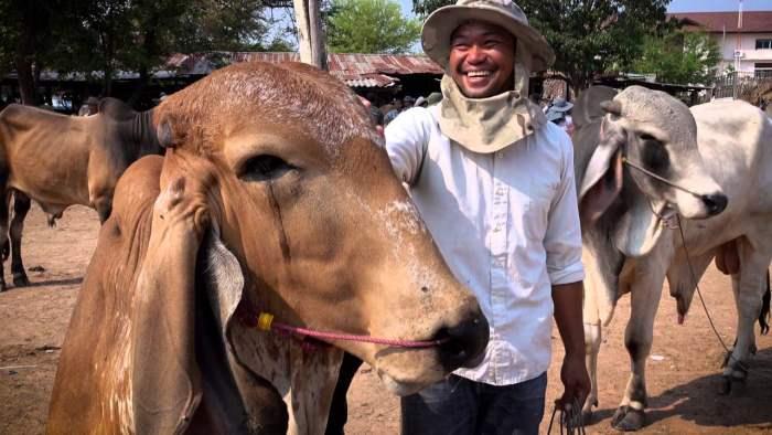 Таиланд, вакцинация, корова,