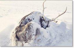 Ученые считают, что массовая гибель оленей на полуострове Ямал в России может быть связана с изменением климата
