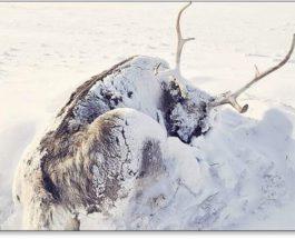 Ямал, олени, массовая гибель, изменение климата,