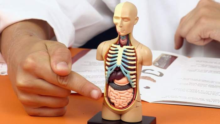 модели, анатомические модели,