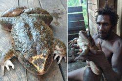Огромная лягушка размером с человеческого детеныша обнаружена прячущейся недалеко от деревни на Соломоновых островах