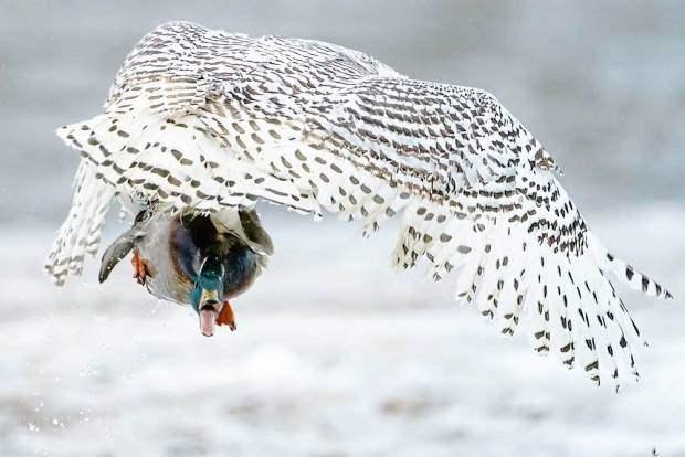сова, утка, нападение,