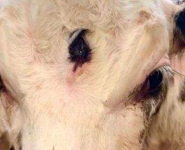 теленок, Третий глаз,