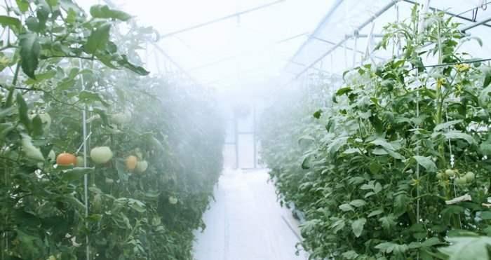 IT-теплица, Япония, помидоры,