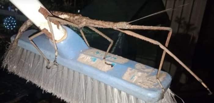 Австралия, насекомое, палочник, Eurycnema goliath,