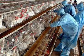 Албания, Птичий грипп,