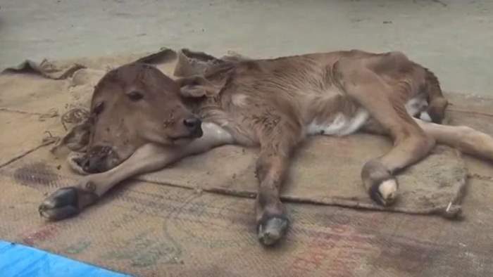 Индия, двуглавый теленок,