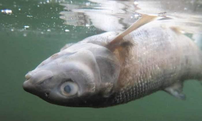 Йеллоустон, река, паразиты, лосось,