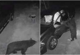 медведь, США, автомобили, Нью-Гэмпшир,