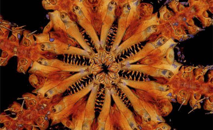 Ophiojura, Офиджура, реликтовые животные,