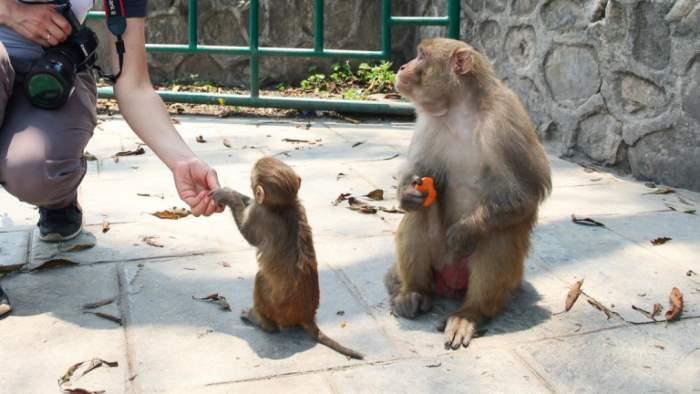 Китайский ветеринар, вирус, обезьяны,