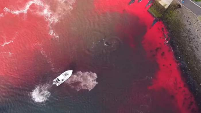 Киты, Фарерские острова, Гриндадрап, убийство китов,