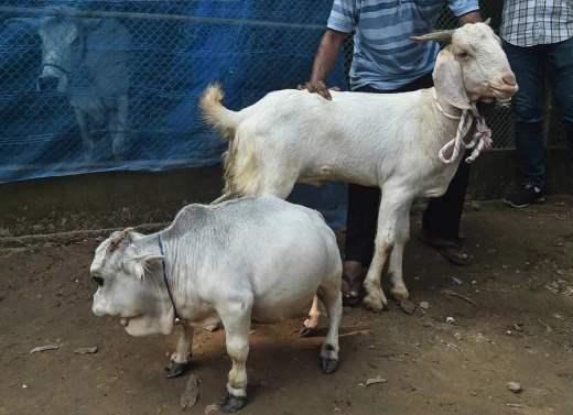 Корова, маленькая корова, Бангладеш,