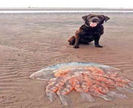 Медуза, Шотландия,