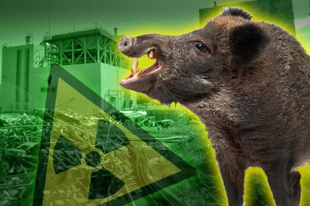 Фукусима, Япония, радиация, свиньи, кабаны,