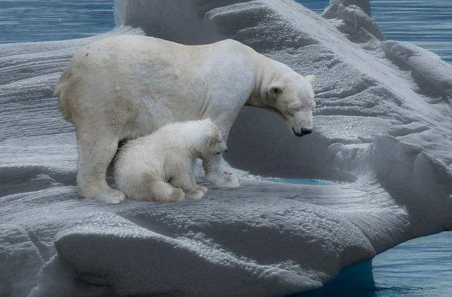 белые медведи, арктический лед,