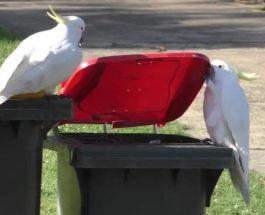 какаду, Сидней, Австралия, мусорные баки,