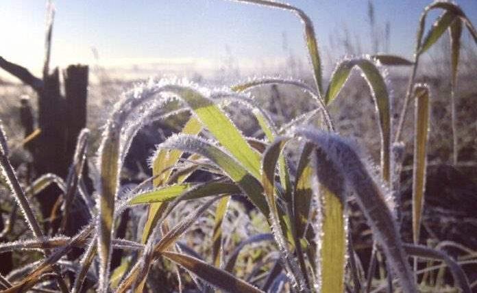 кукуруза, Бразилия, заморозки, урожай,