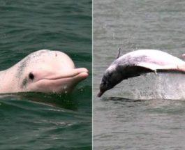 Вьетнам, розовый дельфин,
