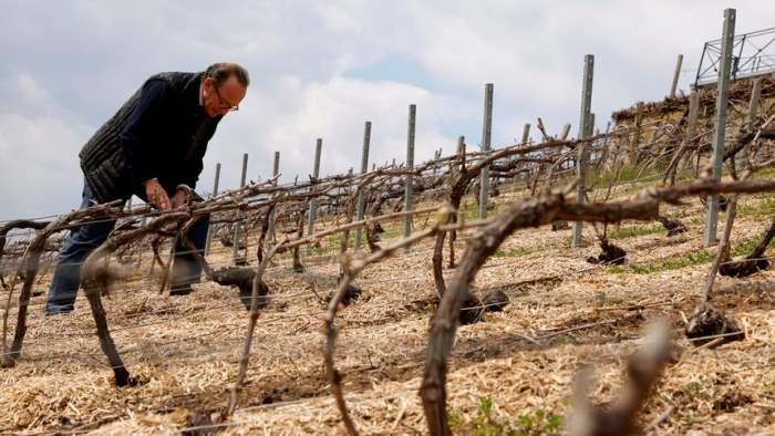 Франция, виноград, урожай,