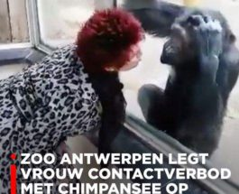 Шимпанзе, Антверпен, зоопарк,