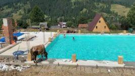 бассейн, корова, жара, Карпаты,