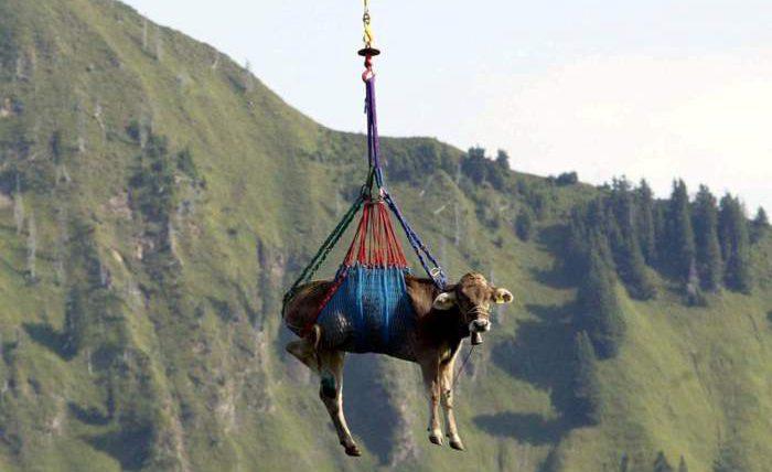 коровы швейцария