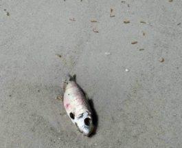 красный прилив, водоросли, пляж, личинки, мертвая рыба,
