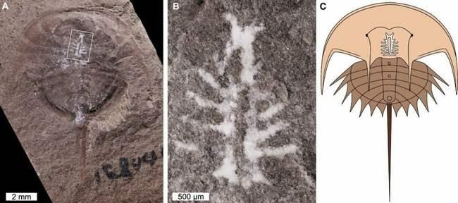 мозг, крабы, окаменелости, Euproops danae,