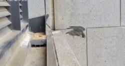 Землетрясение в Мельбурне выбросило сокола из гнезда